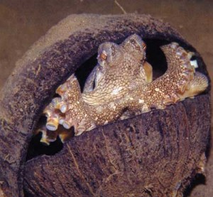 Octopus using shells as tools